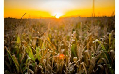 Solo se ha sembrado el 45% del maíz previsto en Venezuela, afirma Fedecámaras